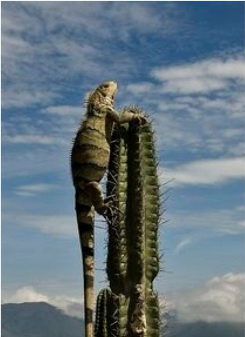 25 фото кактуса, за который вас посадят на 25 лет интересное